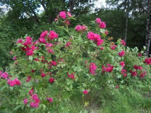 Neilikkaruusu F.J.Grootendorst kukoistaa ruusurinteessä